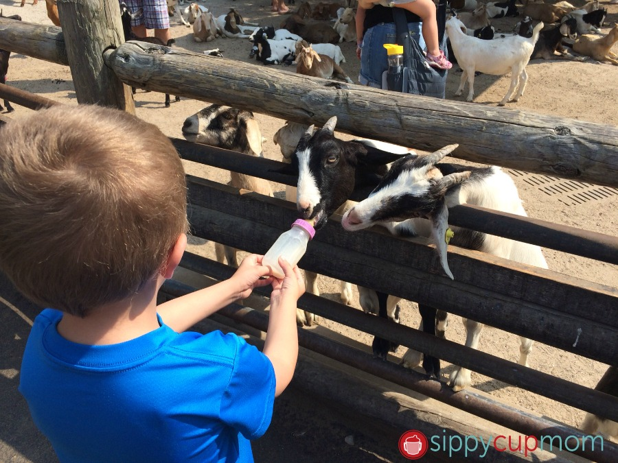 Grant's Farm Goats Hayden