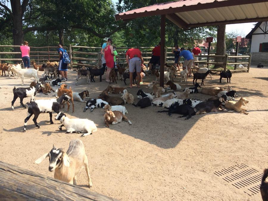 Grant's Farm Goats