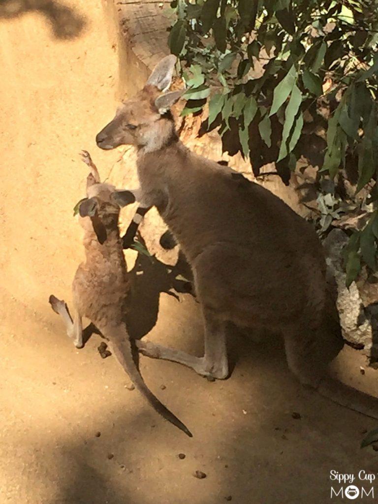 LA Zoo Kangaroo
