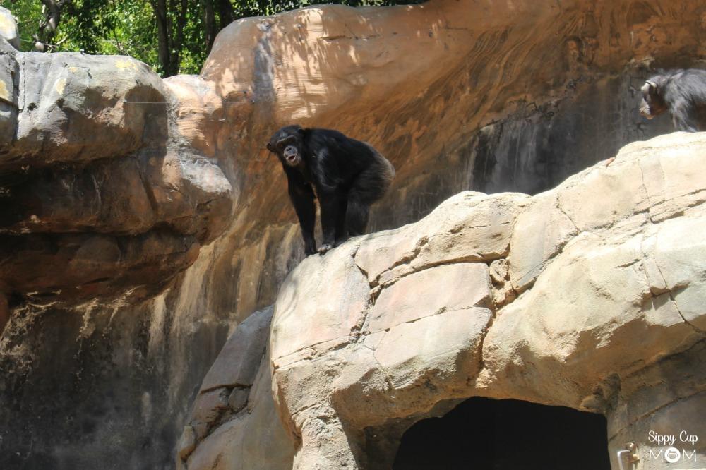 LA Zoo Chimp