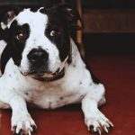 How to Stop a Pit Bull from Shedding
